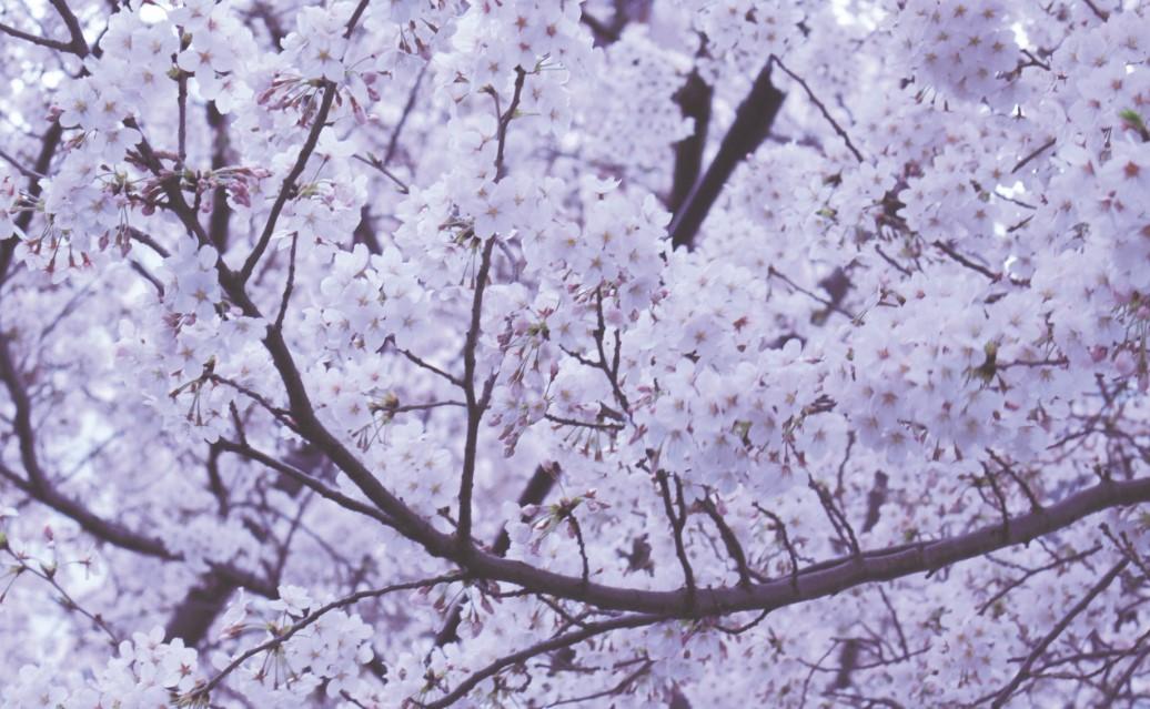 Japan: 'Sakura' heralds spring