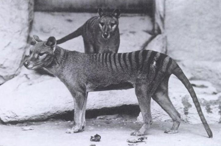 Resurrecting the 'Tasmanian Tiger' (Thyacline)